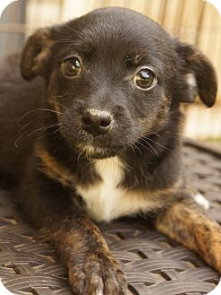 Chihuahua/Pomeranian Mix Puppy for adoption in Newark, Delaware - Bacon