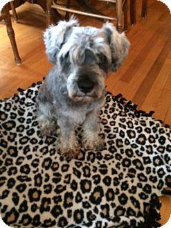 Schnauzer (Miniature) Mix Dog for adoption in Pierrefonds, Quebec - Duffy
