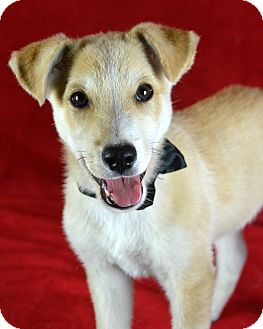 Retriever (Unknown Type) Mix Puppy for adoption in Jackson, Mississippi - Whiskey