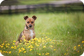 Chihuahua Dog for adoption in Toronto/GTA, Ontario - EMMA