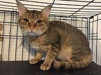 Domestic Shorthair Cat for adoption in East Stroudsburg, Pennsylvania - Tigger