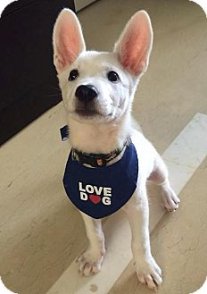 Shepherd (Unknown Type) Mix Puppy for adoption in Sunnyvale, California - Bart