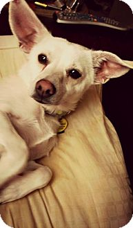Chihuahua/Jack Russell Terrier Mix Dog for adoption in Virginia Beach, Virginia - Chili