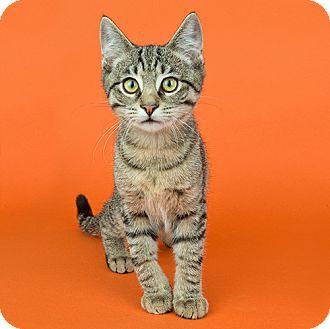 Domestic Shorthair Kitten for adoption in Wilmington, Delaware - Stripes