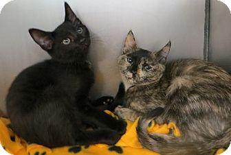 Domestic Shorthair Kitten for adoption in Brockton, Massachusetts - Kittens