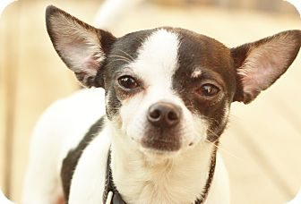Chihuahua Mix Dog for adoption in Romeoville, Illinois - Trudy