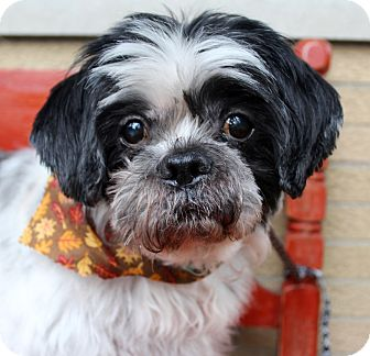 Shih Tzu/Poodle (Miniature) Mix Dog for adoption in Munster, Indiana - Charlie - VIDEO