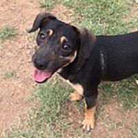 Dachshund Mix Dog for adoption in Phoenix, Arizona - Joshua
