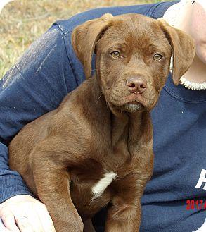 Labrador Retriever/Retriever (Unknown Type) Mix Puppy for adoption in West Sand Lake, New York - Mojo (15 lb) Video!