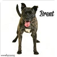 Adopt A Pet :: Brent - Troy, VA