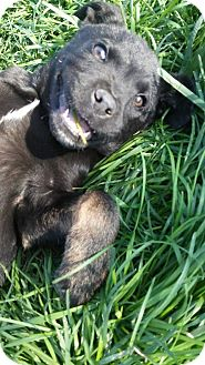 Rottweiler Mix Puppy for adoption in Hermitage, Tennessee - Henry