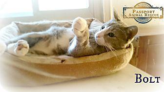 Domestic Shorthair Cat for adoption in Nottingham, Maryland - Bolt