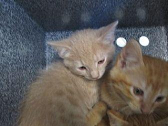 Domestic Shorthair Kitten for adoption in Weatherford, Texas - Guy