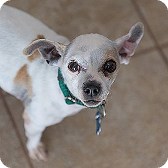 Chihuahua Dog for adoption in Kanab, Utah - Cali