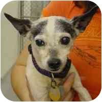 Rat Terrier Mix Dog for adoption in North Wilkesboro, North Carolina - Tiny