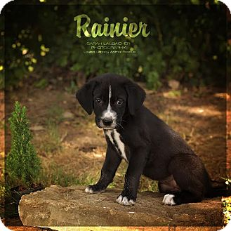 Labrador Retriever/Golden Retriever Mix Puppy for adoption in Cincinnati, Ohio - Rainier
