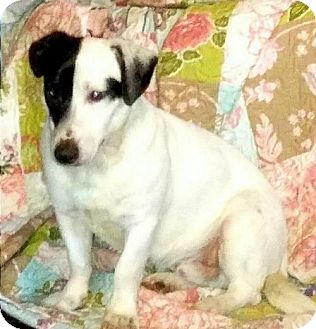 Jack Russell Terrier Dog for adoption in Corbin, Kentucky - Darwin