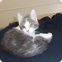 Domestic Shorthair Kitten for adoption in Medford, Wisconsin - AINSLEY