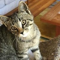 Adopt A Pet :: Grey Boy 2 - Athabasca, AB
