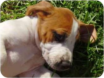 American Bulldog Mix Puppy for adoption in Ladson, South Carolina - ZIVA