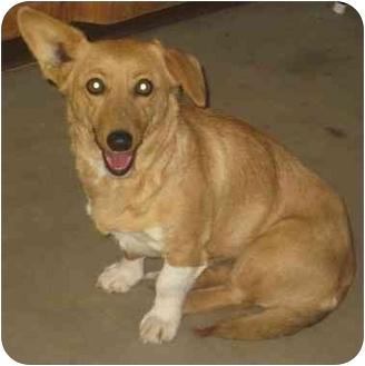 Corgi/Dachshund Mix Dog for adoption in Columbus, Nebraska - Bristol