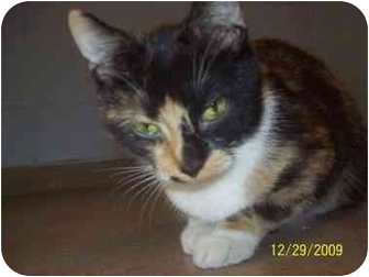 Domestic Mediumhair Cat for adoption in Bradford, Pennsylvania - Kaitlynn