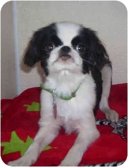 Japanese Chin Puppy for adoption in Port Jefferson Station, New York - Andy