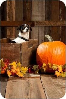Rat Terrier/Beagle Mix Dog for adoption in Portland, Oregon - Cowboy