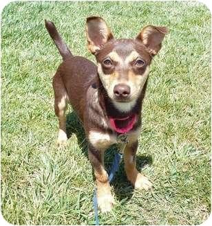 Miniature Pinscher Mix Puppy for adoption in San Clemente, California - CALLIOPE