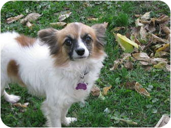 Papillon Dog for adoption in Troy, Ohio - Pip~Adopted!