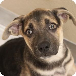 German Shepherd Dog/Australian Cattle Dog Mix Puppy for adoption in Naperville, Illinois - W Pups- Winnie