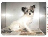 Terrier (Unknown Type, Small) Mix Dog for adoption in Encino, California - Sassy