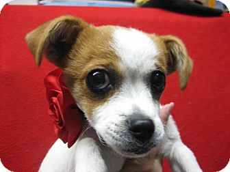 Terrier (Unknown Type, Small) Mix Puppy for adoption in Gustine, California - JAGGER