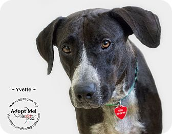 Pointer Mix Dog for adoption in Phoenix, Arizona - Yvette