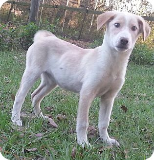 Border Collie/Labrador Retriever Mix Puppy for adoption in Ocala, Florida - Vicky