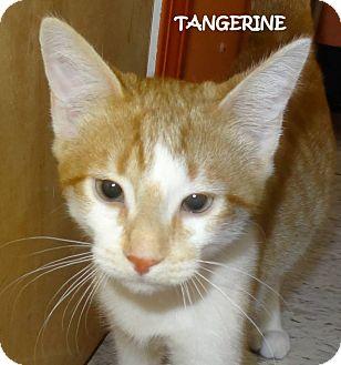 Domestic Shorthair Kitten for adoption in Lapeer, Michigan - TANGERINE--URGENT!! SPONSORED!