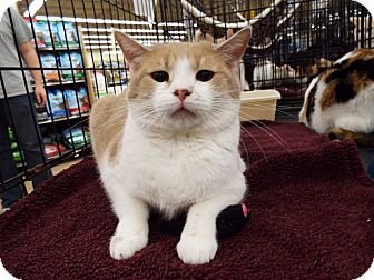 Domestic Shorthair Cat for adoption in Charlotte, North Carolina - A..  Ori