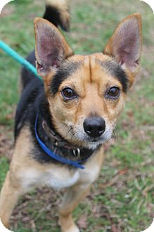 Chihuahua/Terrier (Unknown Type, Small) Mix Dog for adoption in Waldorf, Maryland - Milo