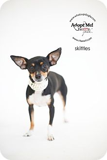 Miniature Pinscher/Toy Fox Terrier Mix Dog for adoption in Los Angeles, California - Skittles