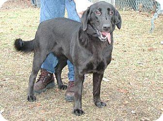 Labrador Retriever Dog for adoption in Wetumpka, Alabama - #72470  'Pogo'