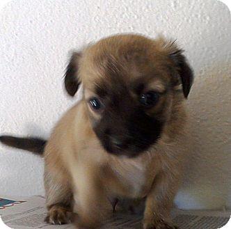 Shih Tzu Mix Puppy for adoption in Apache Junction, Arizona - Peanut