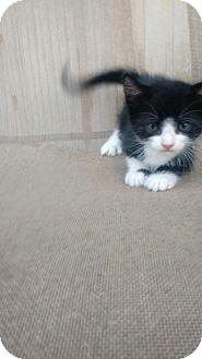 Domestic Shorthair Kitten for adoption in Baton Rouge, Louisiana - Rocky