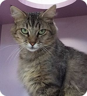 Domestic Mediumhair Cat for adoption in Grants Pass, Oregon - Jazzy