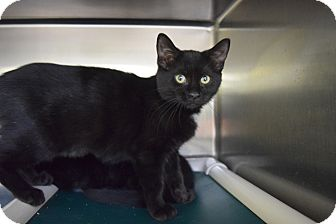 Domestic Mediumhair Kitten for adoption in Elyria, Ohio - Wuzzy