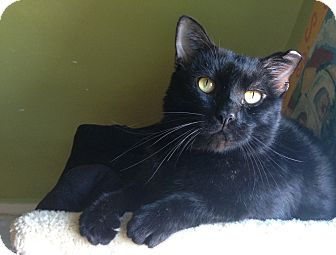 Domestic Shorthair Cat for adoption in Chicago, Illinois - Herman