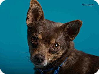 Chihuahua Mix Dog for adoption in Mesa, Arizona - PLACIDO - 2 YR CHIHUAHUA