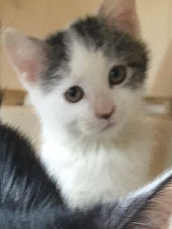 Domestic Shorthair Kitten for adoption in Bronx, New York - Poppy