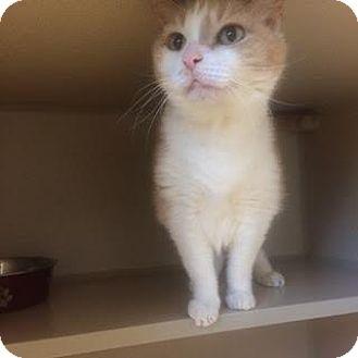 Domestic Shorthair Cat for adoption in Denver, Colorado - Leona