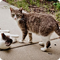 Domestic Shorthair Cat for adoption in Virginia Beach, Virginia - Leah