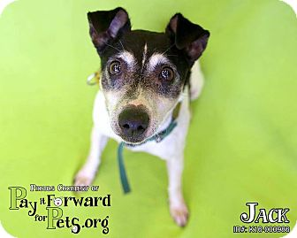 Jack Russell Terrier Dog for adoption in Sharon Center, Ohio - Jack